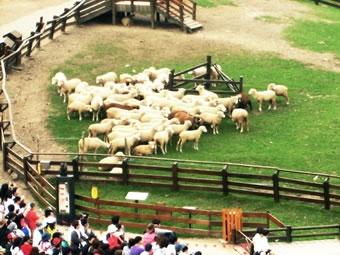 清境農場綿羊脫衣秀