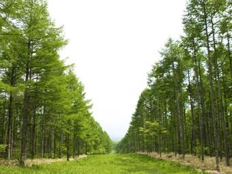 清境農場柳杉步道