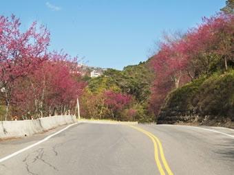 清境櫻花季