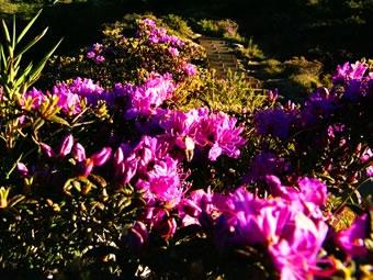 合歡山杜鵑花